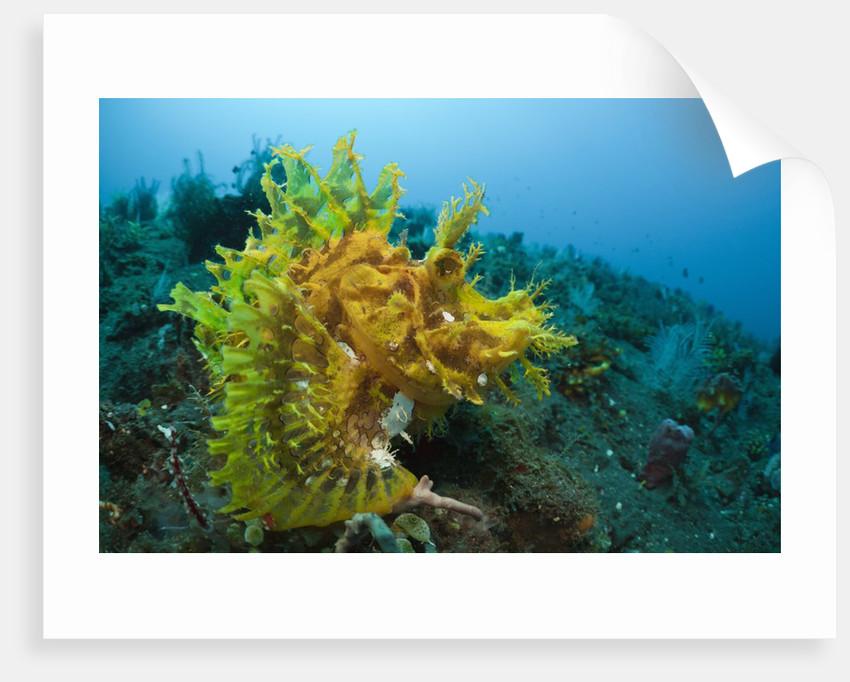 Yellow Weedy Scorpionfish (Rhinopias frondosa), Alam Batu, Bali, Indonesia by Corbis