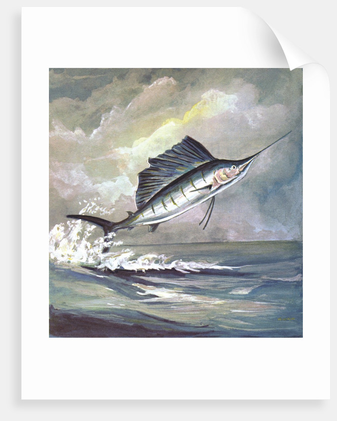 Leaping sailfish by Corbis
