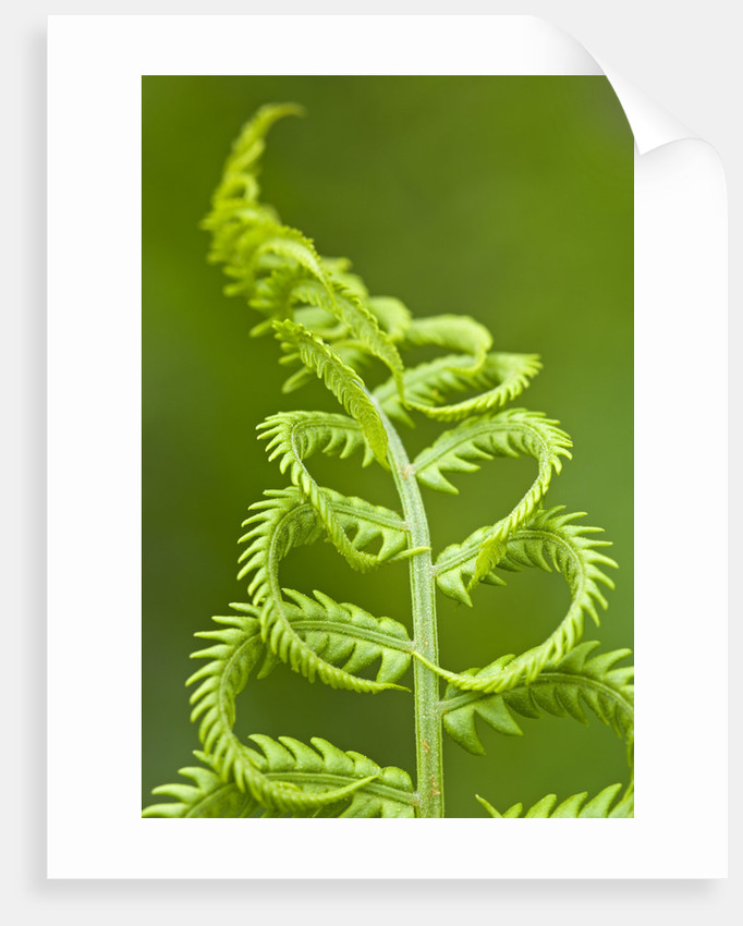 Cinnamon fern's fertile spore-bearing fronds are erect and shorter by Corbis