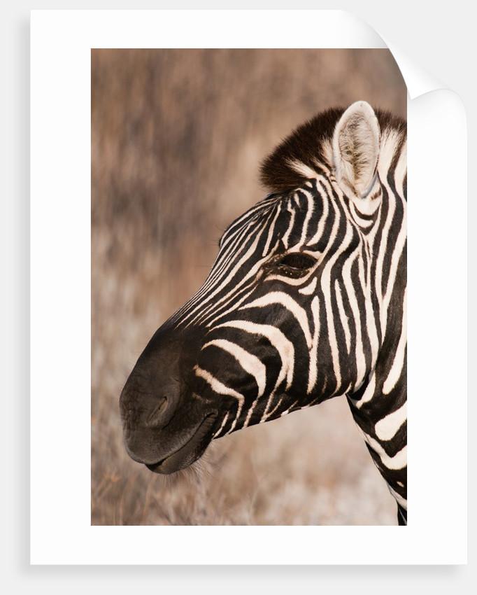 Burchell's zebra (Equus burchellii) by Corbis