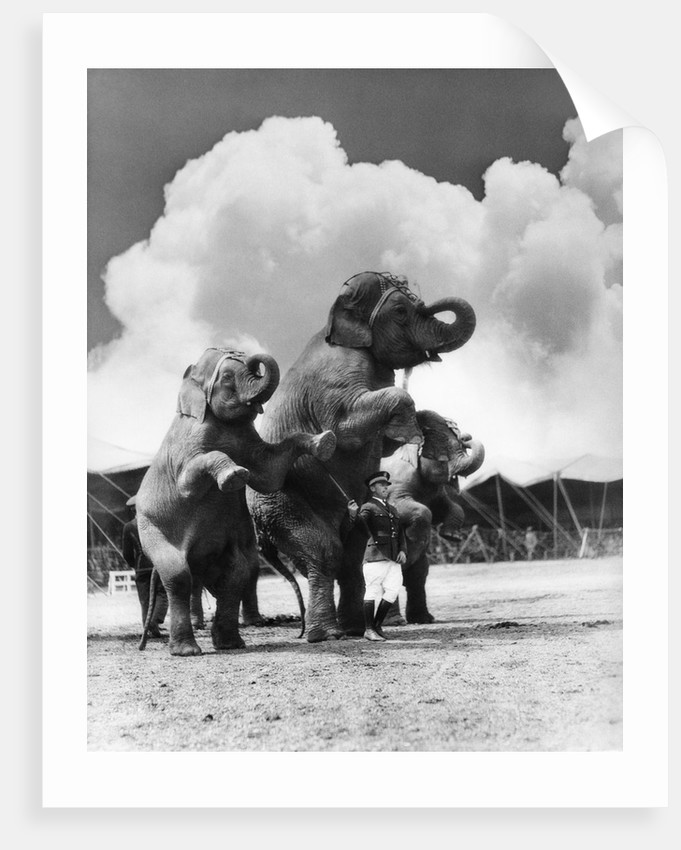 1930s circus trainer in front of 3 elephants elephas maximus indicus standing on hind legs by Corbis