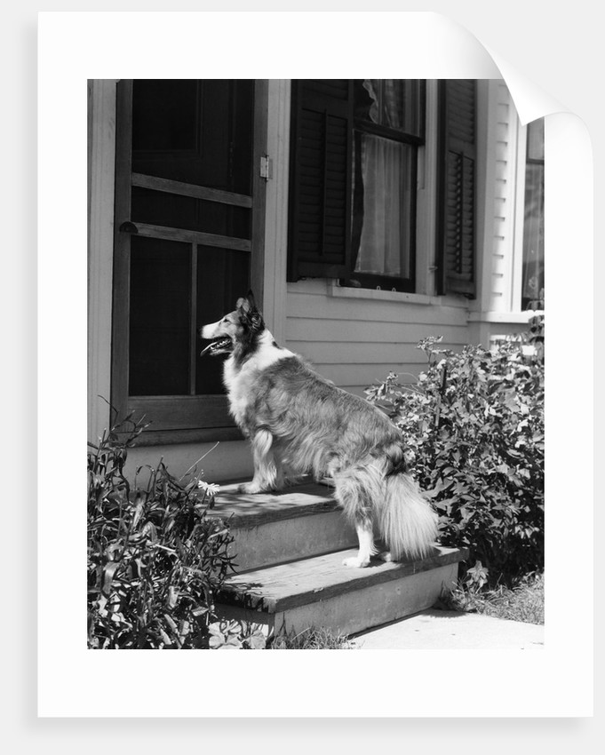 1930s rough scotch collie dog standing on back doorstep of house waiting to be let in by Corbis