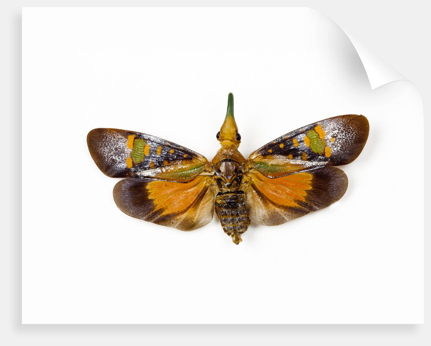 Flying bug from Asia Pyrops in the Fulgoridae family by Corbis