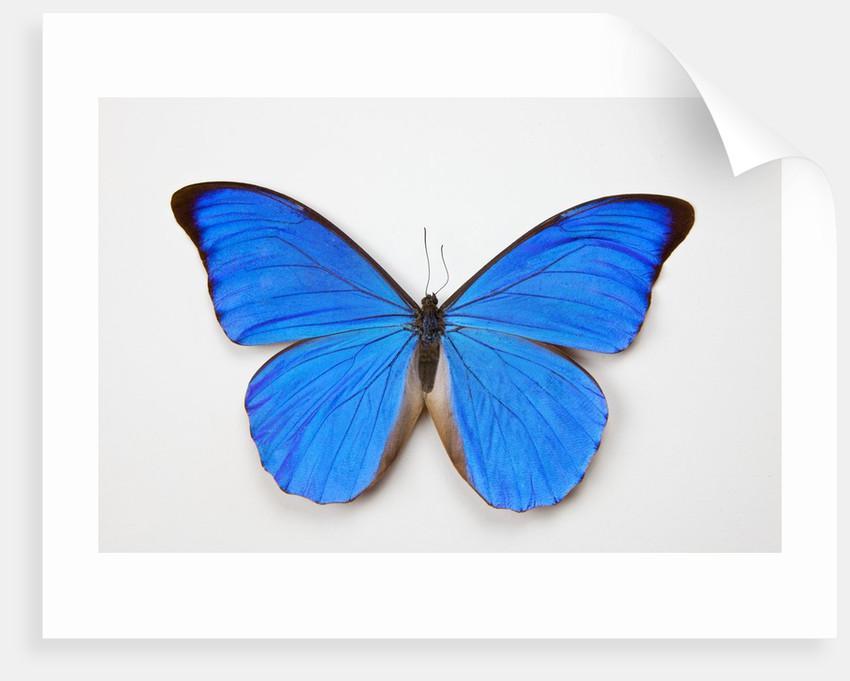 Blue Morpho, Morpho anaxibia from Brazil by Corbis
