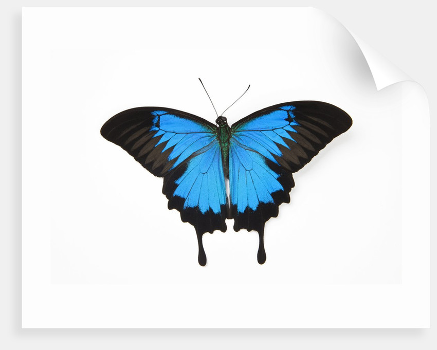 mountain blue swallowtail butterfly from australia papilio uysses