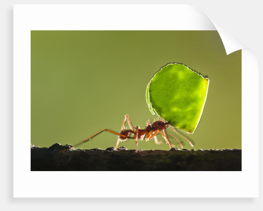 Leafcutter Ant, Costa Rica by Corbis