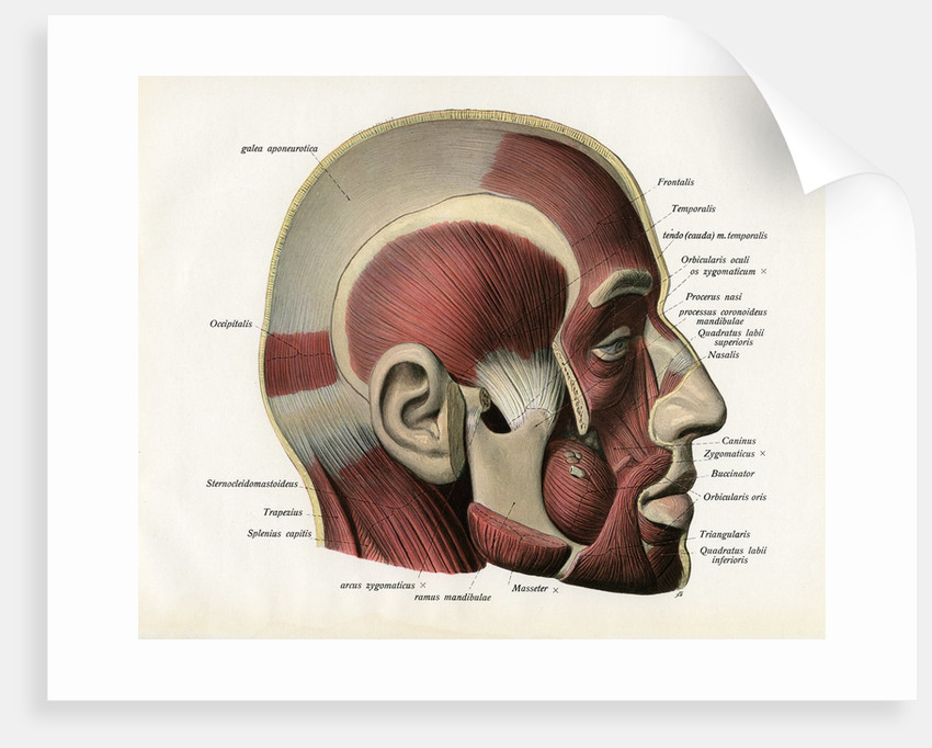 Lateral Cutaway View Of The Muscles Of The Face Posters Prints By