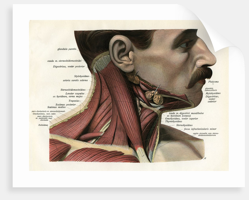 Lateral View of the Muscles and Glands of the Human Neck posters ...