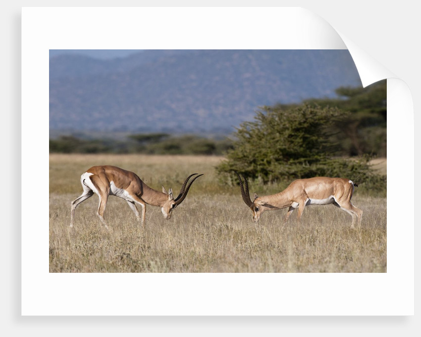 Grants Gazelle fighting by Corbis