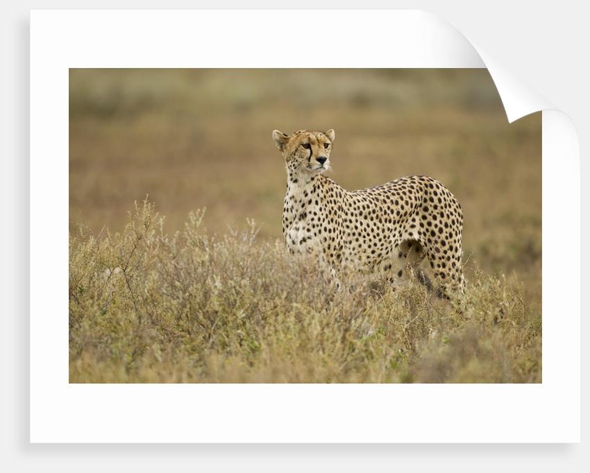 Cheetah, Ngorongoro Conservation Area, Tanzania by Corbis