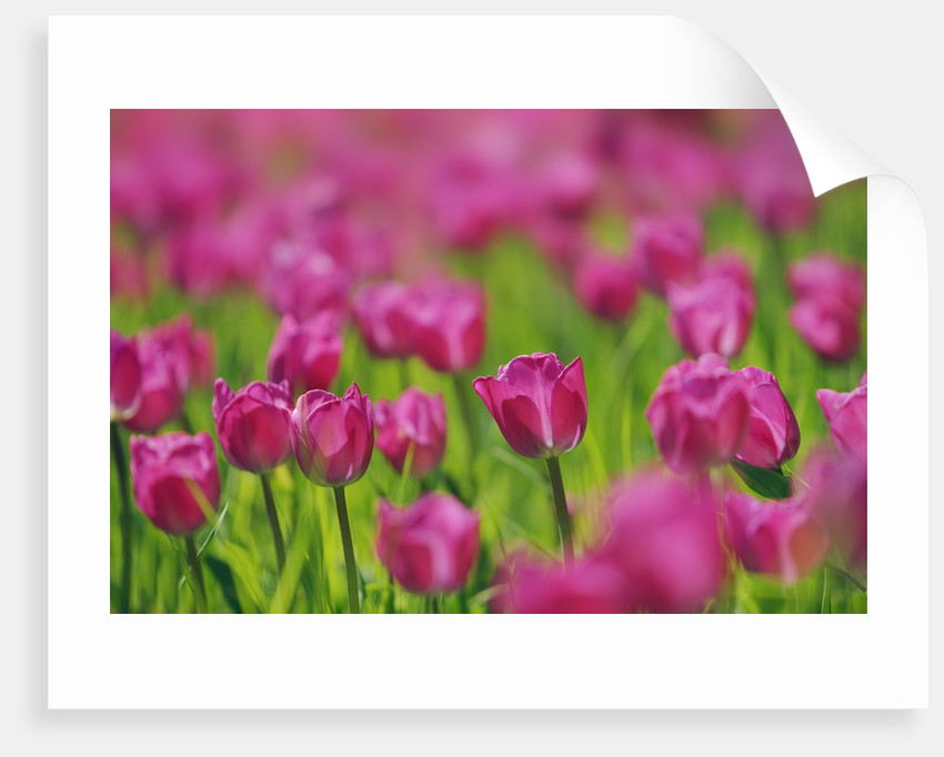 Beautiful background with pink tulips by Corbis
