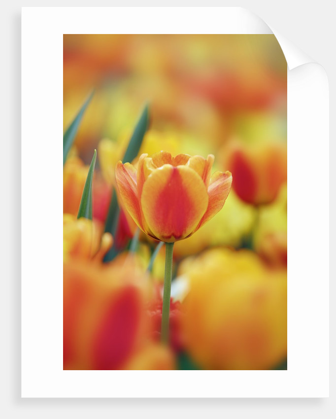 Beautiful background with yellow and orange tulips by Corbis