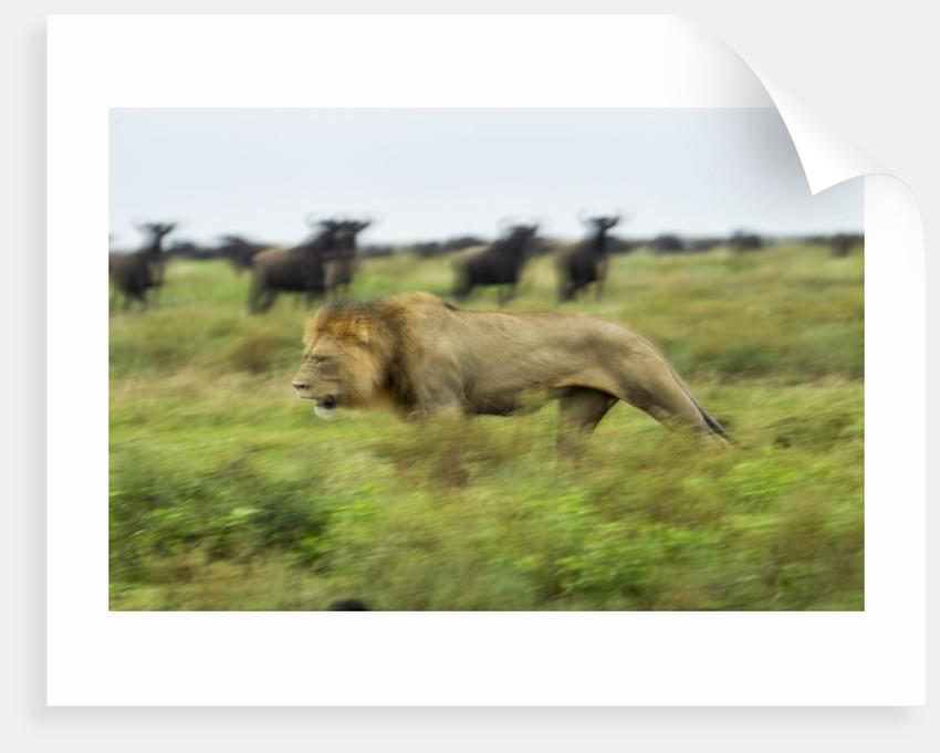 Lion and Wildebeest Herd by Corbis