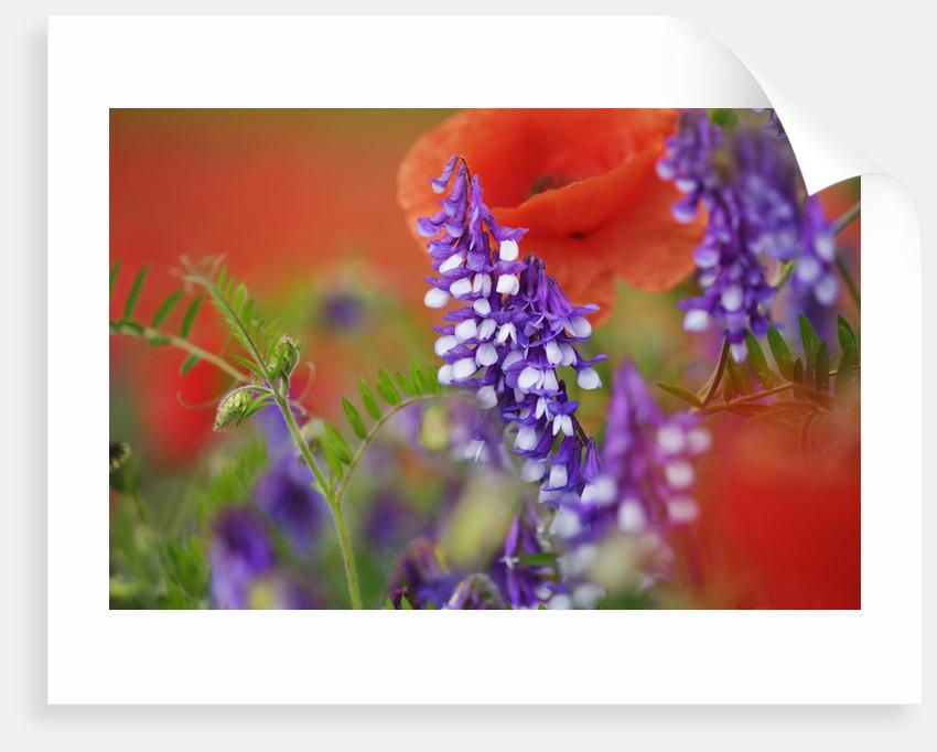 Wildflowers growing in field by Corbis
