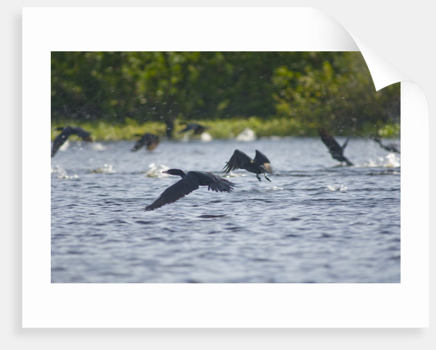 Cormorans flying over river, Mato Grosso, Brazil by Corbis