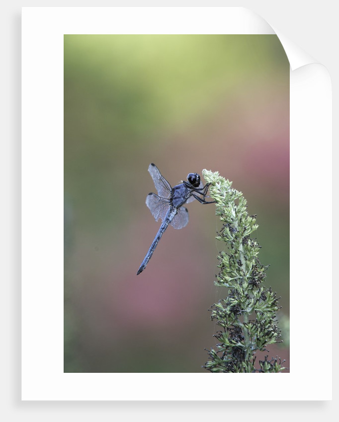 Dragonfly by Corbis