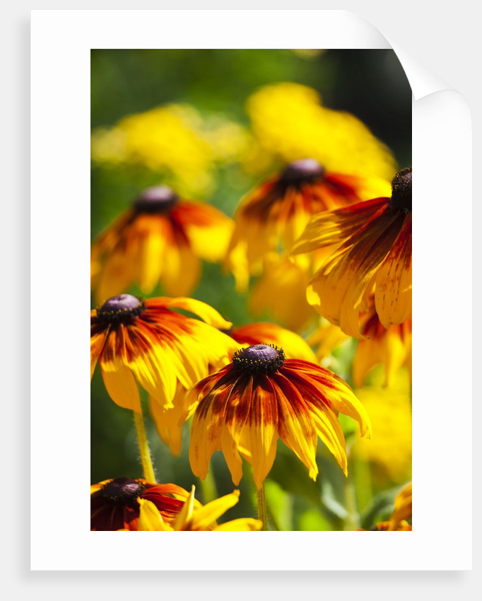 Cherokee Sunset Cone Flowers in Bloom by Corbis
