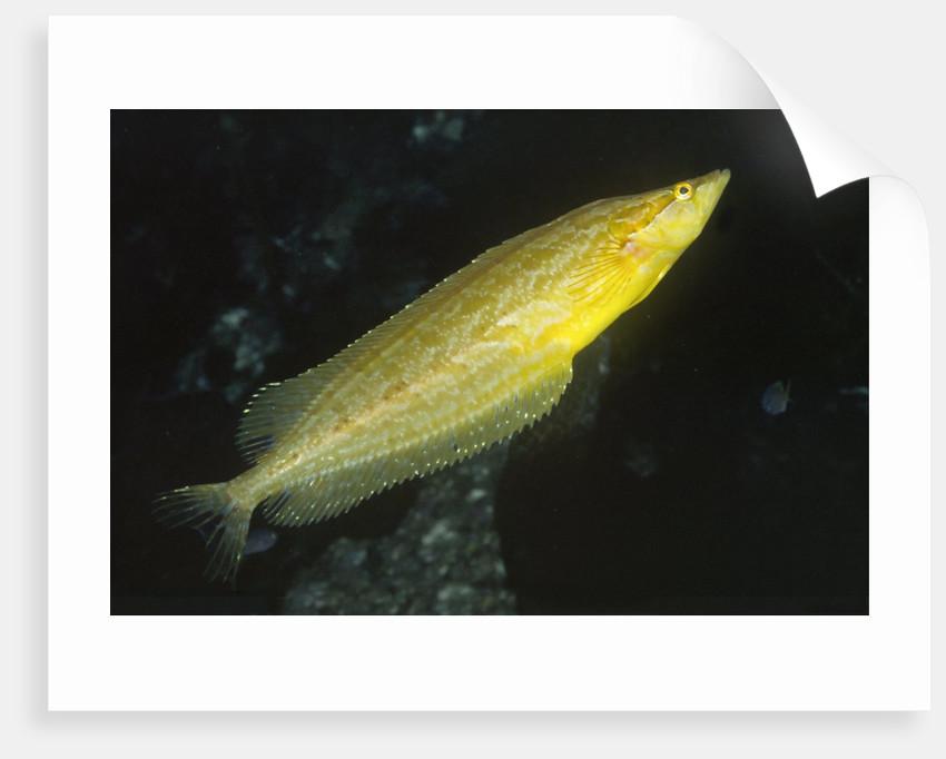 Giant Kelpfish by Corbis
