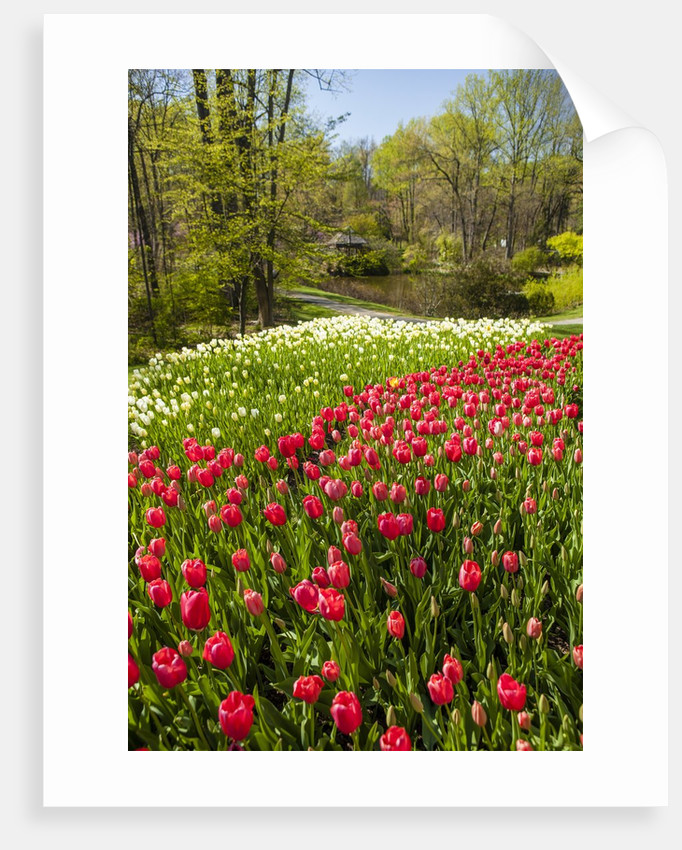 Red Tulip in Bloom by Corbis