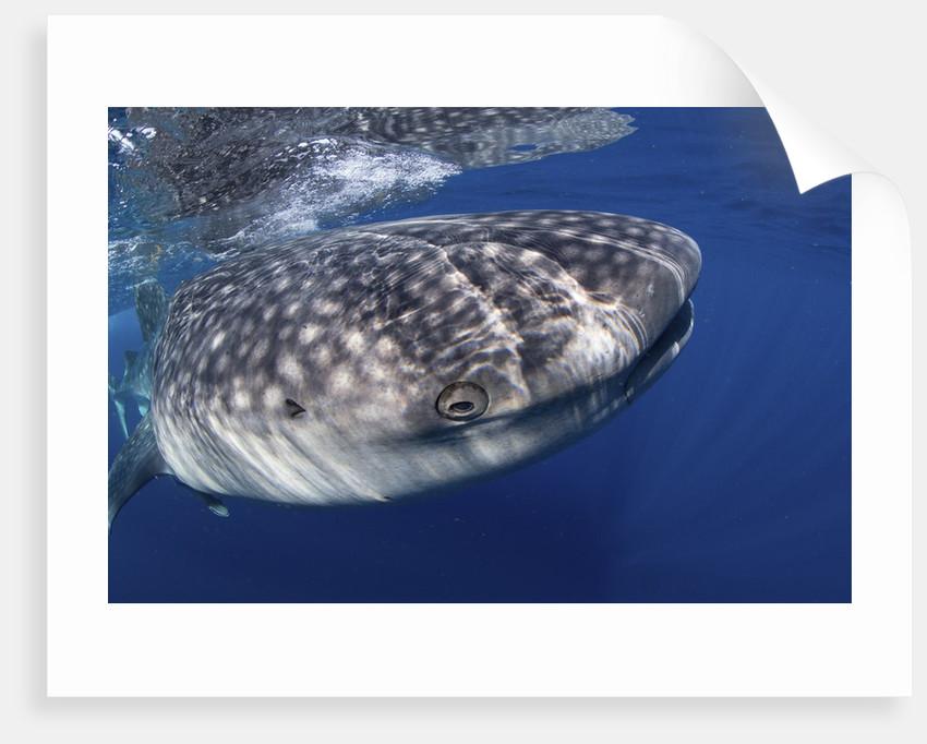 Whale shark (Rhincodon typus) by Corbis