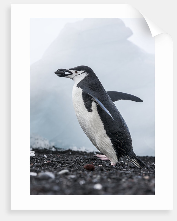 chinstrap penguins with rock deception island antarctica posters