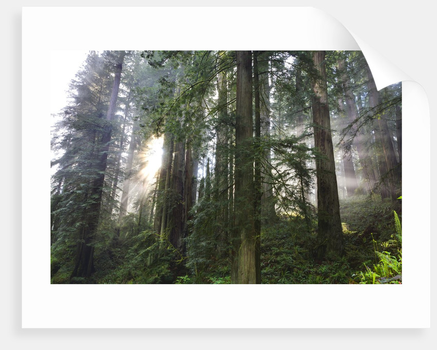 Redwood Trees in Morning Fog with Sunrays by Corbis