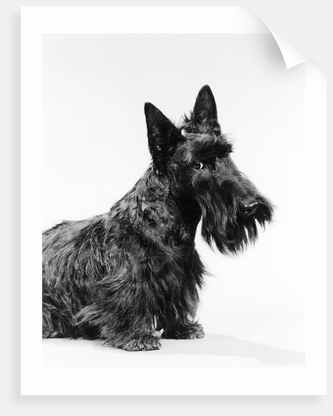 black Scottie Scottish Terrier Dog With Head Slightly Tilted Looking At Camera by Corbis