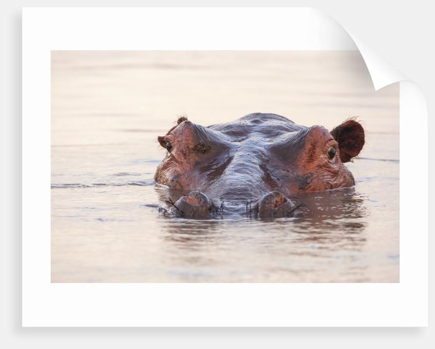 Hippopotamus by Corbis