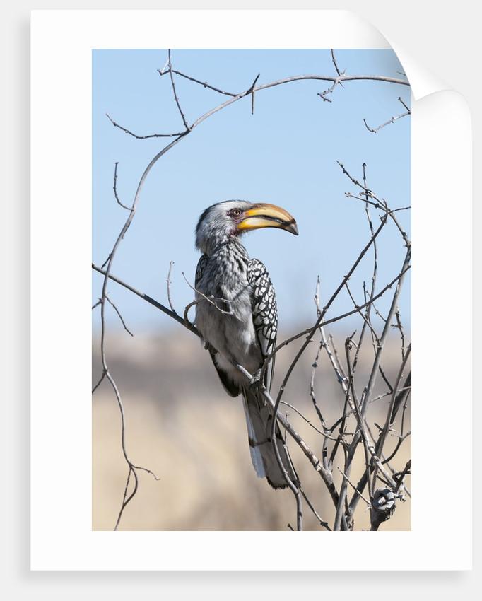 Southern yellow-billed hornbill (Tockus leucomelas) by Corbis