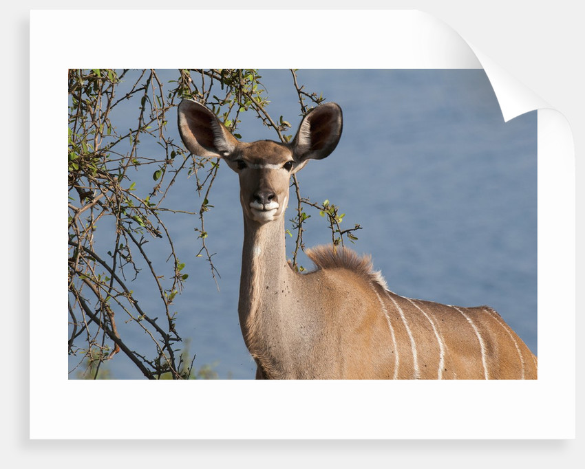Female greater kudu by Corbis