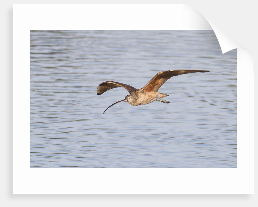 Long-Billed Curlew flying by Corbis