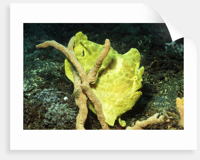 Giant Frogfish by Corbis