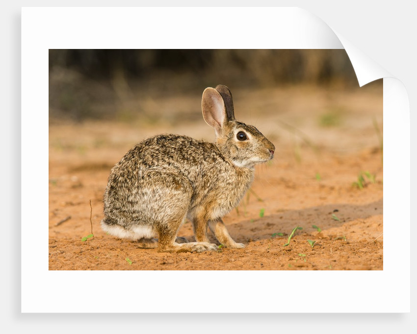 Eastern Cottontail Rabbit by Corbis