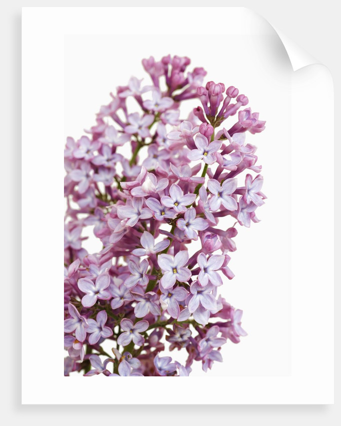 Common lilac by Corbis