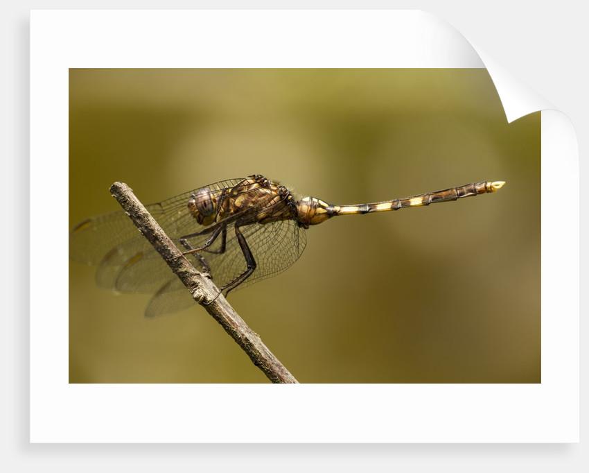 Dragonfly, Madagascar by Corbis