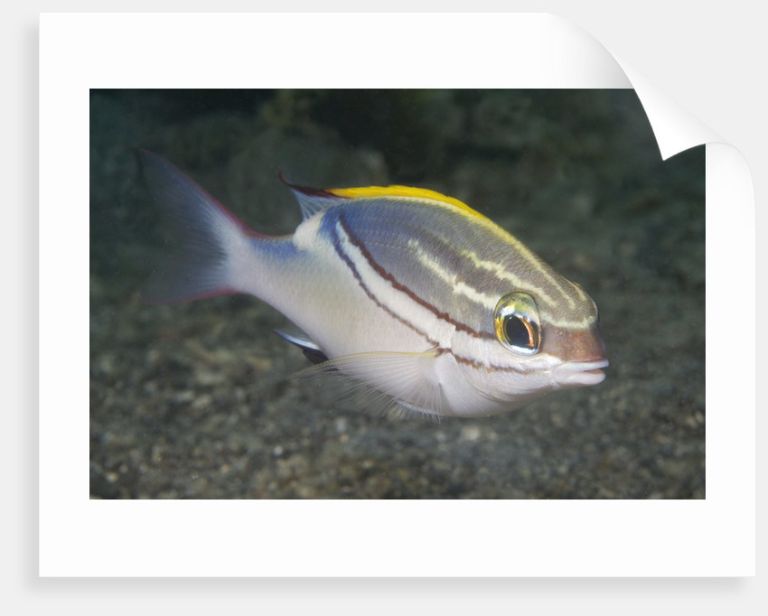Bridled Monocale Bream by Corbis
