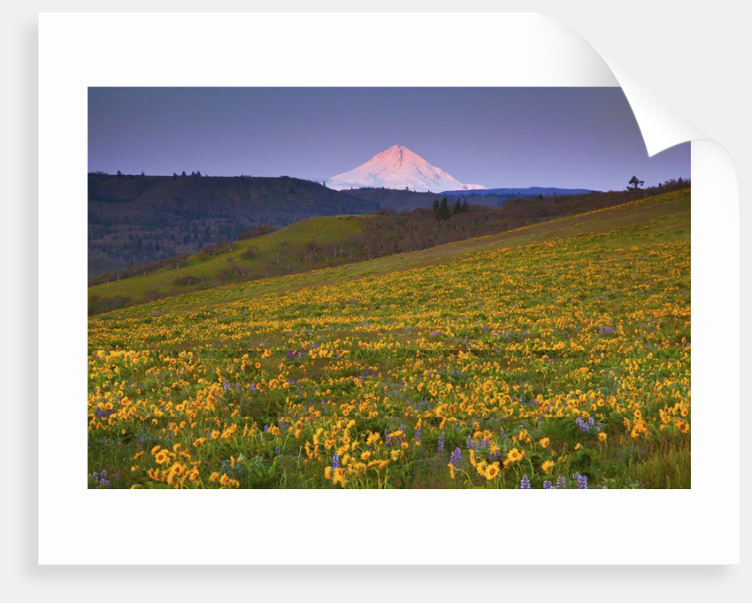Sunrise over wildflowers and Mt. Hood, Columbia River Gorge National Scenic Area, Oregon by Corbis