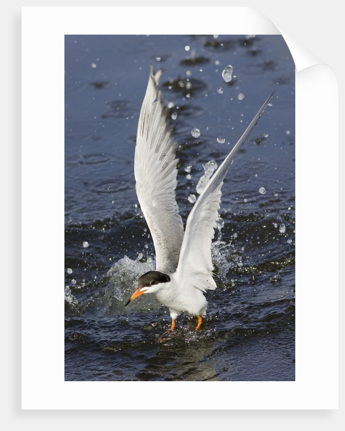 Forster's Tern emerges from underwater by Corbis