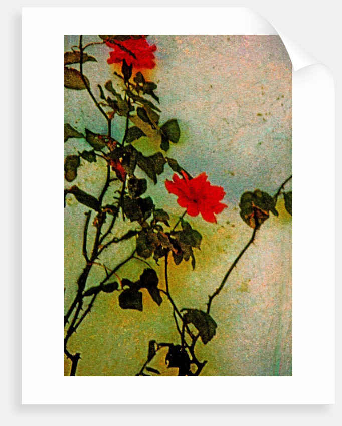 Roses by Corbis