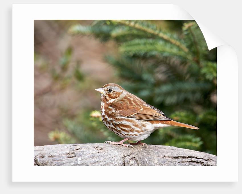 Fox Sparrow by Corbis