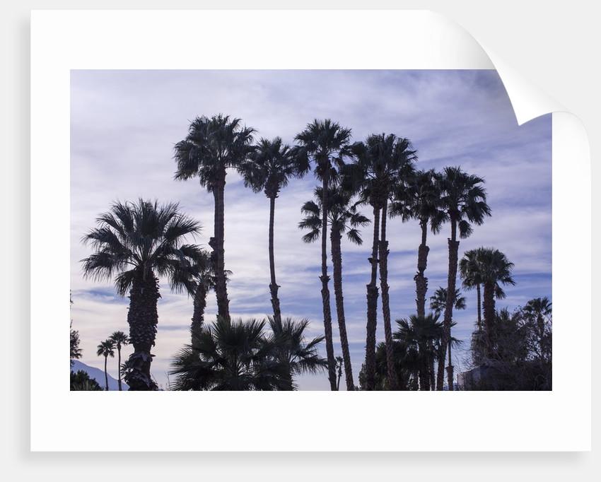 California Fan Palms by Corbis