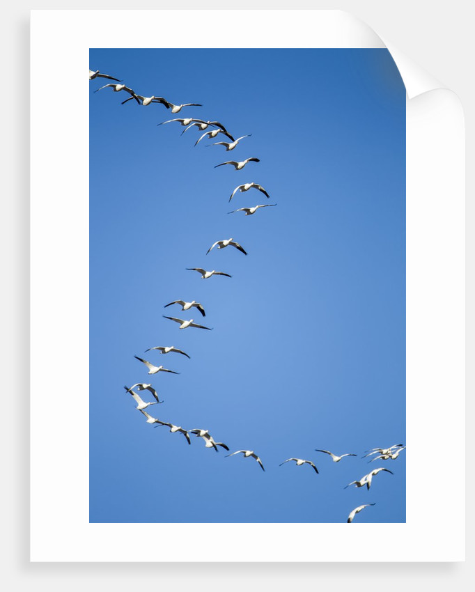 Snow Geese, New Mexico by Corbis