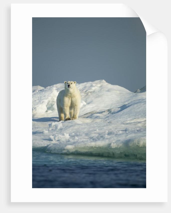 Polar Bear on Iceberg, Hudson Bay, Nunavut, Canada by Corbis