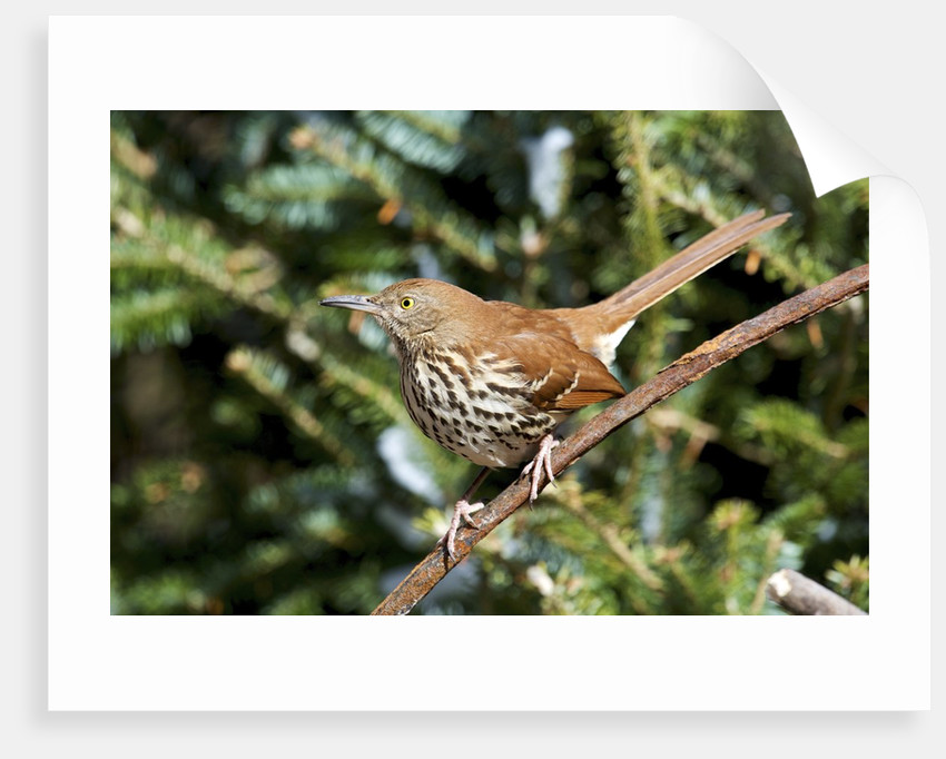 Brown Thrasher perching on branch, McLeansville, North Carolina, USA by Corbis
