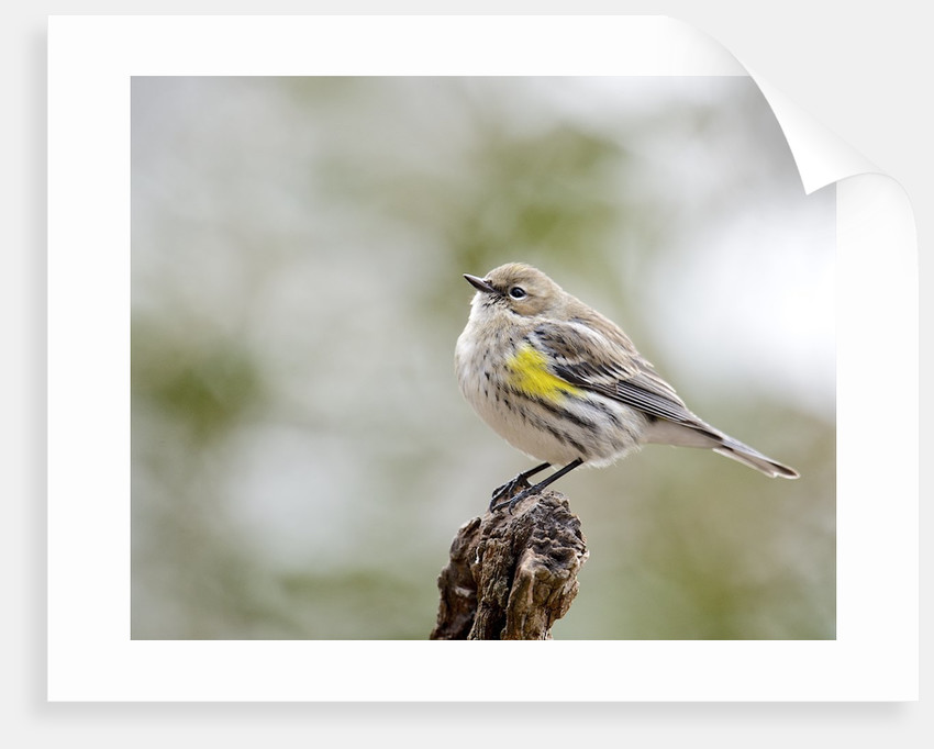 Yellow-rumped Warbler, McLeansville, North Carolina, USA by Corbis