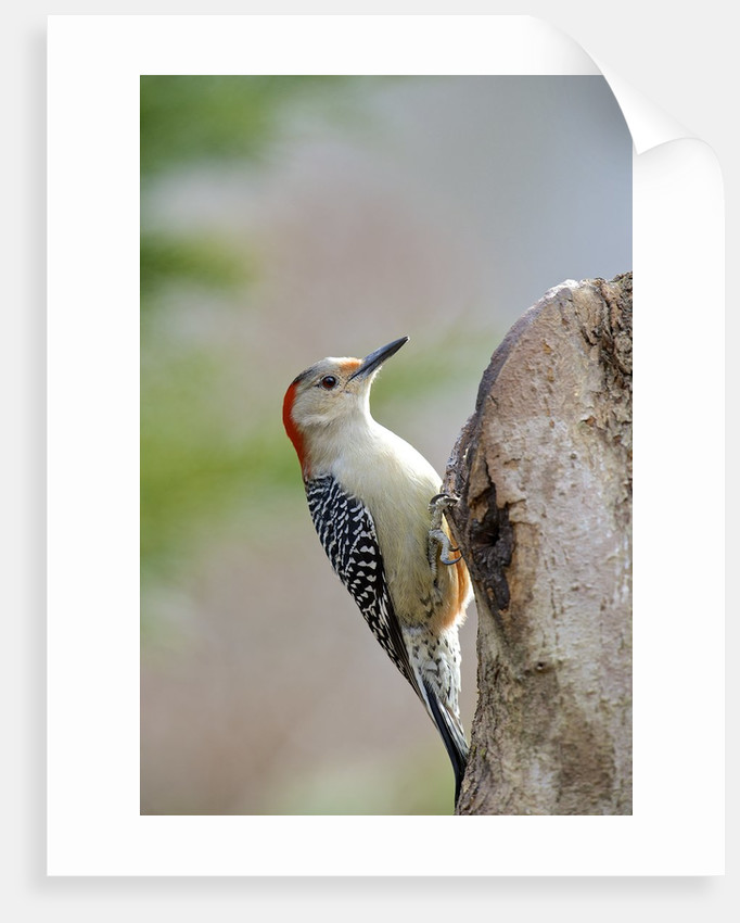 Red-bellied Woodpecker, McLeansville, North Carolina, USA by Corbis
