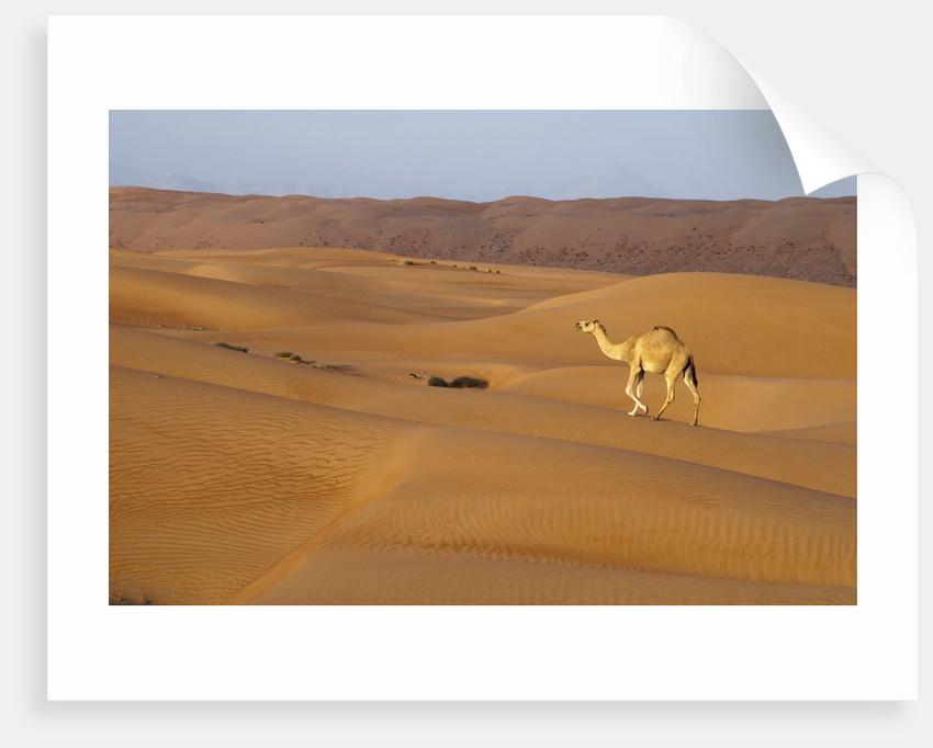 A wild camel walking on sand dunes. by Corbis
