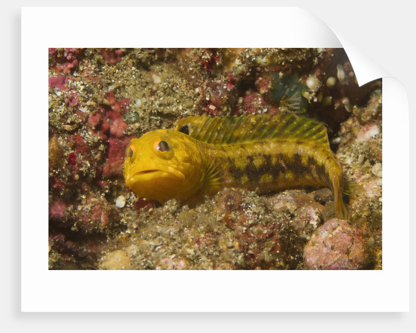 Female Variable Jawfish by Corbis