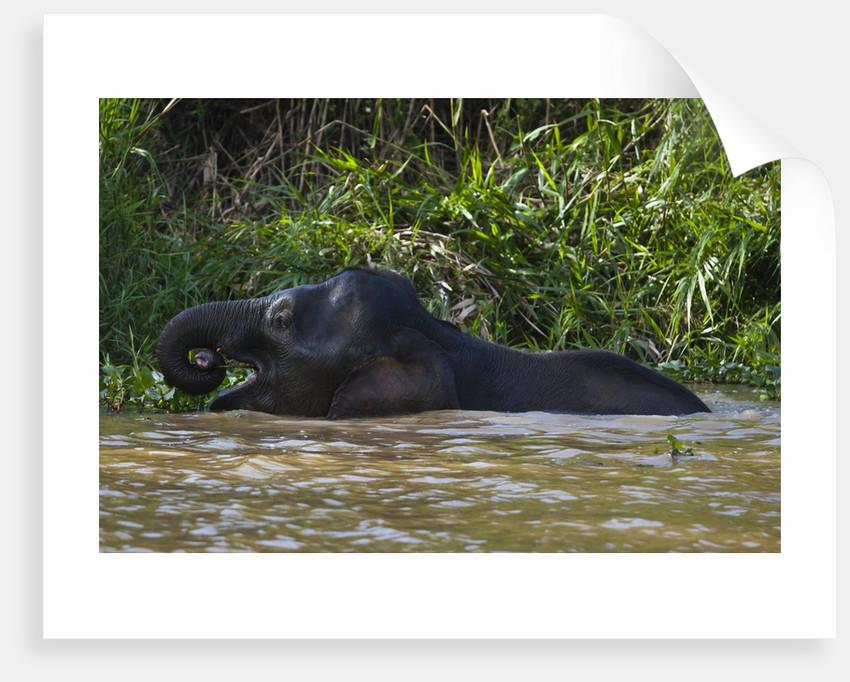Bornean Pygmy Elephant (Elephas maximus borneensis) by Corbis