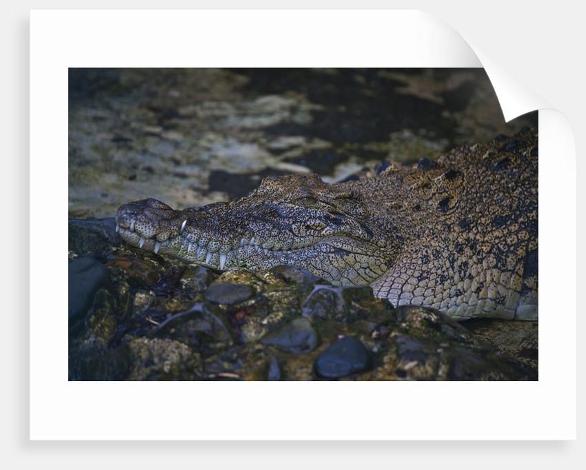 Siamese crocodile by Corbis